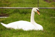 Free Mute Swan Stock Photos - 5461063