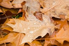 Free Rain Drops On Autumn Leaves Royalty Free Stock Image - 5461616