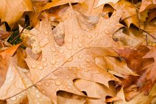 Free Rain Drops On Autumn Leaves Stock Photography - 5461622