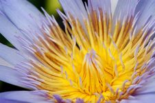 Free Light Purple Waterlily Royalty Free Stock Photography - 5462007