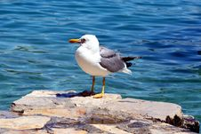 Free Sea Gull - Larus Argentatus Stock Images - 5462194
