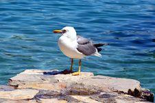 Sea Gull - Larus Argentatus Stock Images