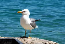 Free Sea Gull - Larus Argentatus Stock Images - 5462224