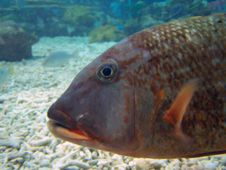 Large Marine Fish Under The Sea Stock Photography