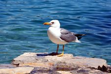 Free Sea Gull - Larus Argentatus Royalty Free Stock Image - 5462236