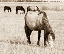 Free Pasturing Horses Sepia Toned Stock Photography - 5462262