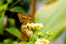 Fire Skipper Butterfly Royalty Free Stock Photography