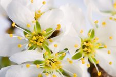 Free Blossom White Wild Apple Tree Royalty Free Stock Images - 5462769