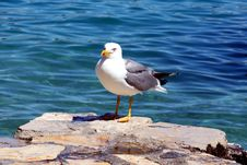 Free Sea Gull - Larus Argentatus Stock Photography - 5463082