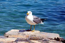 Sea Gull - Larus Argentatus Stock Photography