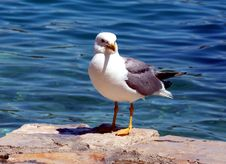 Free Sea Gull - Larus Argentatus Royalty Free Stock Image - 5463236