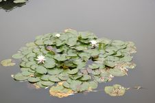 The Leaves Of Water Lily Royalty Free Stock Photo