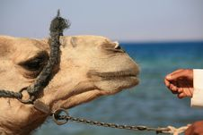 Free Boy And His Camel Royalty Free Stock Image - 5464186