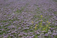 Free Violet Field Background Texture Royalty Free Stock Image - 5464696