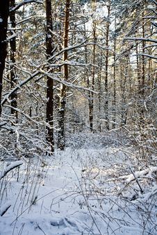 Free Winter Forest Royalty Free Stock Photo - 5465885