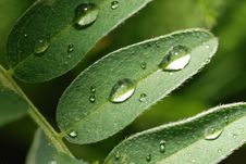 Free Drops On A Leaf Royalty Free Stock Image - 5467346