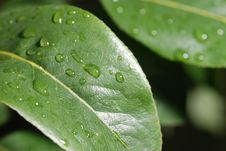 Free Drops On A Leaf Stock Image - 5467361