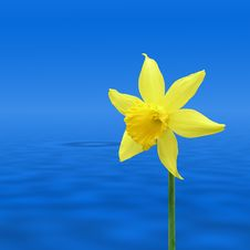 Free Daffodil Over Water Royalty Free Stock Image - 5467446
