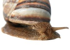 Free A Photo Close Up Snail Royalty Free Stock Photos - 5467608