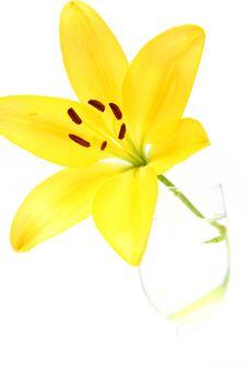Free Yellow Lily Stock Image - 5467691