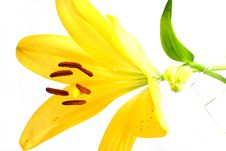 Free Yellow Lily Stock Image - 5467721