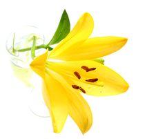 Free Yellow Lily Royalty Free Stock Photos - 5467728