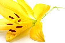 Free Yellow Lily Stock Image - 5467811