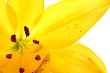 Free Yellow Lily Royalty Free Stock Image - 5467826