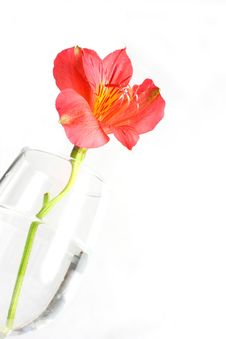 Free Red Peruvian Lily Stock Photos - 5467853