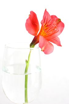 Free Red Peruvian Lily Royalty Free Stock Image - 5467856