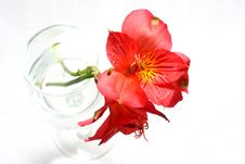 Free Red Peruvian Lily Stock Image - 5467861