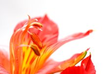 Free Red Peruvian Lily Stock Photos - 5467883