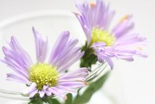 Free Purple Daisy Royalty Free Stock Image - 5468176