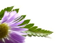Free Purple Daisy Royalty Free Stock Photos - 5468218