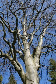 Free Beech An Blue Sky Stock Photography - 5469042
