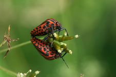 Free Bugs Copulation Royalty Free Stock Photo - 5469355