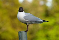 Free Seagull On A Pillar Royalty Free Stock Image - 5469396