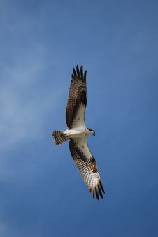 Free Osprey In Flight Royalty Free Stock Image - 5469466
