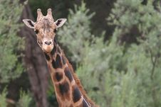 Free Giraffe Royalty Free Stock Photography - 5469587