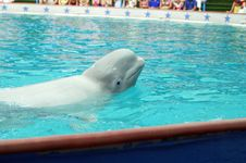 Free White Whale Royalty Free Stock Image - 5469986