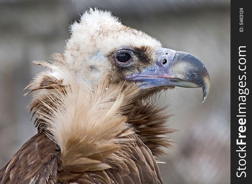 Griffon vulture 4