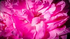 Pink Peony Royalty Free Stock Image
