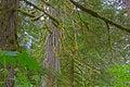 Free Old Growth Cedar Stock Image - 5471011