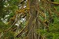 Free Old Growth Cedar Stock Photography - 5471062