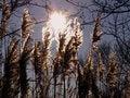 Free Reed  Silhouettes Stock Photos - 5471493