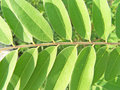 Free Acacia Leaves Royalty Free Stock Images - 5473229