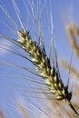 Free Wheaten Ear Stock Image - 5477071