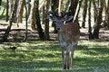 Free Fallow Deer Stock Photos - 5478333