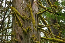 Free Old Growth Cedar Royalty Free Stock Images - 5471019