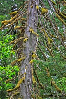 Free Old Growth Cedar Royalty Free Stock Image - 5471056